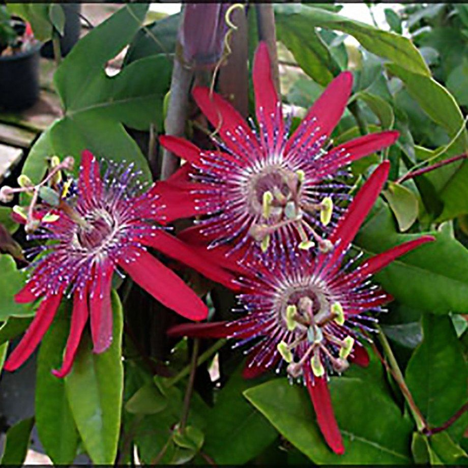 Passion Flower Pura Vida Red Passion Flower Passion Flower Plant Purple Passion Flower