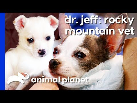 Tiny Chihuahua Struggles To Give Birth To Giant Puppy Dr Jeff
