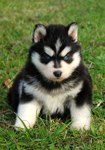 Fuzzy Husky By Rivoera Deviantart Com On Deviantart Animals Baby Dogs Cute Animals