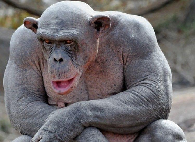 Chimpanzee | Health | Hairless animals, Animals, Animal pictures