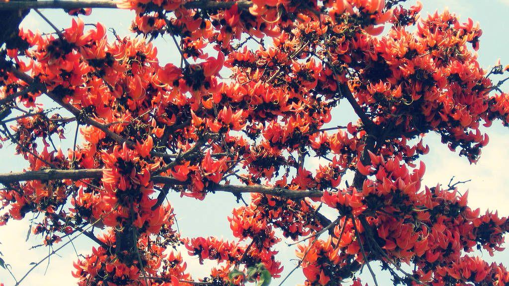 Tanaman Ploso Wujud Dewa Api Yang Membakar Pohon Sakral Tanaman Pohon Bunga