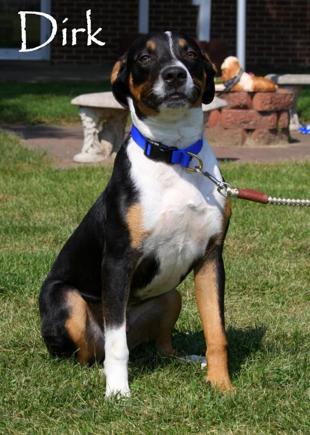 Dirk Greater Swiss Mountain Dog American Staffordshire Terrier