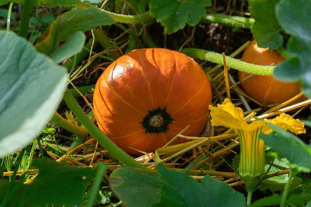 Hokkaido Kurbis Pflegen Das Gibt Es Zu Beachten In 2020 Kurbis Pflanzen Pflanzen Hokkaido Pflanzen