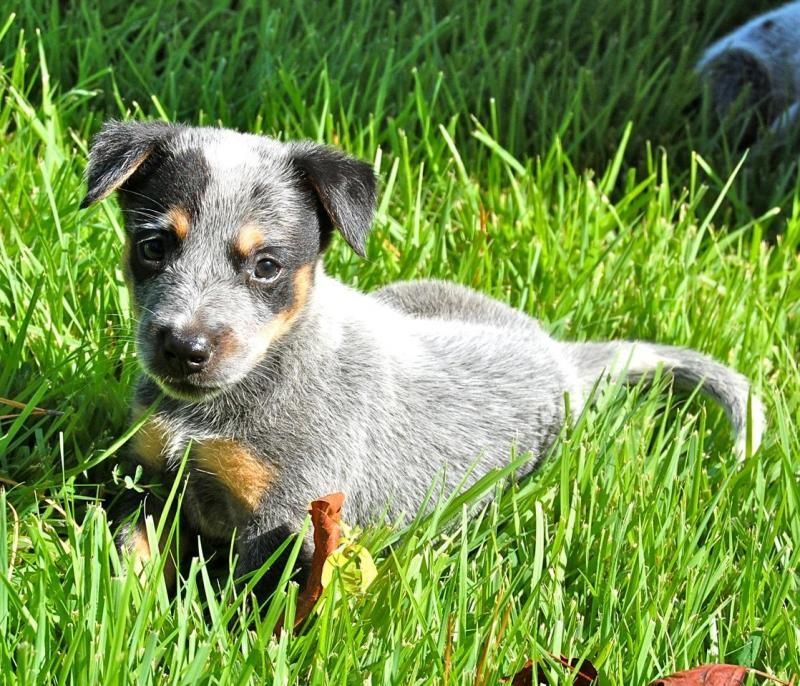 Meet Pippen A Petfinder Adoptable Australian Cattle Dog Blue Heeler Dog Apex Nc Pippen Is An Blue Heeler Puppies Blue Heeler Dogs Australian Cattle Dog