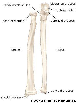 Ulna Good To Learn Pinterest Anatomy Anatomy And Physiology