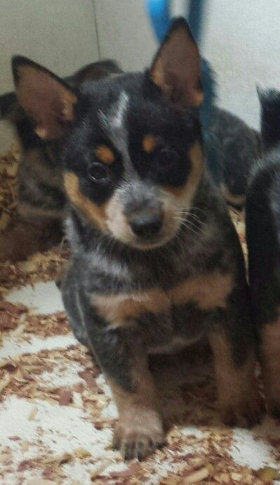 Miniature Australian Cattle Dog Puppy Also Know As Mini Blue
