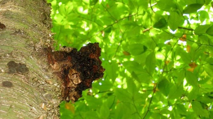 What are the health benefits of chaga mushrooms?