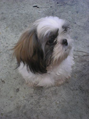 Thompson The Shih Tzu Creatures Pinterest Shih Tzu Dogs And Pets