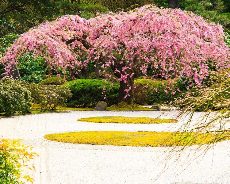 Weeping Cherry Blossom Tree We Had A Small Dwarf One In Our Backyard As A Kid It Filled Me Wit Weeping Cherry Tree Portland Japanese Garden Japanese Garden