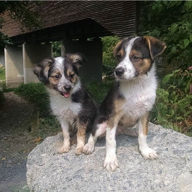 Mini Australian Shepherd Beagle Mix My Boys Asap Ace And Chubs