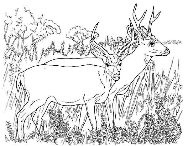 Couple Of North America Mule Deer Coloring Page Deer Coloring Pages Bear Coloring Pages Animal Coloring Pages