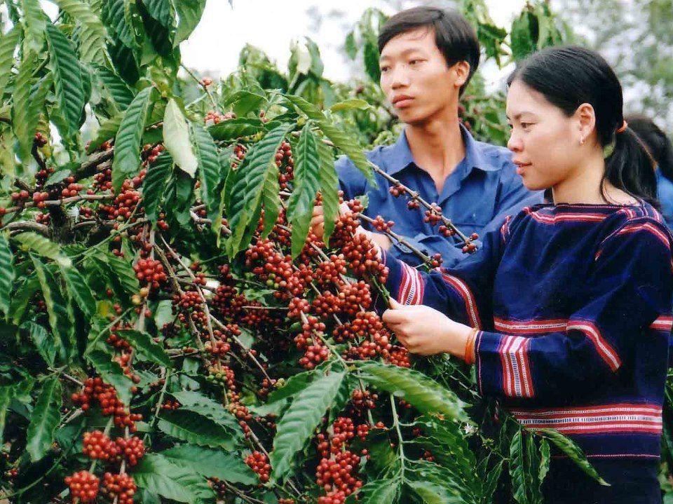Sapete che il Vietnam è il secondo produttore di caffè più grande nel mondo dopo la Brasilia? Ma il Vietnam produce sopratutto caffè robusta e quindi meno conosciuto. La zona materiale più grande è Tay Nguyen (altopiano centrale). http://viaggi.asiatica.com/