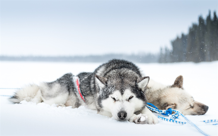 Perros Husky Siberiano Fondos De Pantalla Hd De Animales 2: Download Wallpapers Husky, Dogs, Winter, Snow, Pets