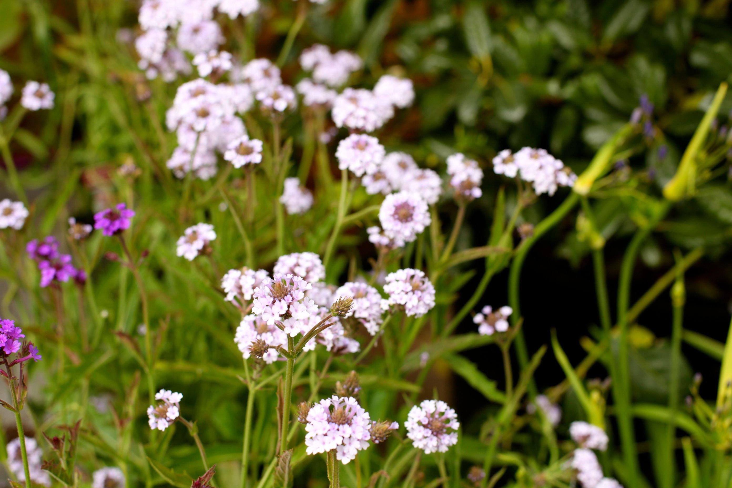 Verbena Rigida Polaris Upright Frost Hardy Perennial Great For
