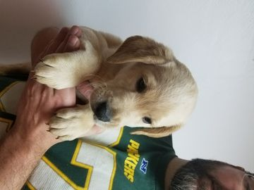 Litter of 4 Labradoodle puppies for sale in GREEN BAY, WI