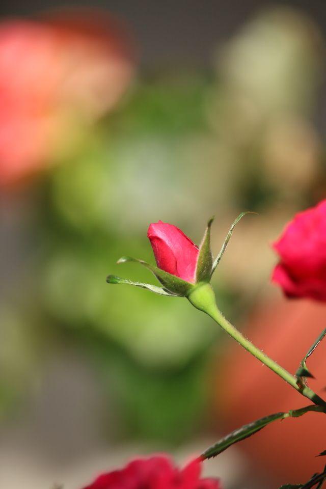 ミニ薔薇の蕾