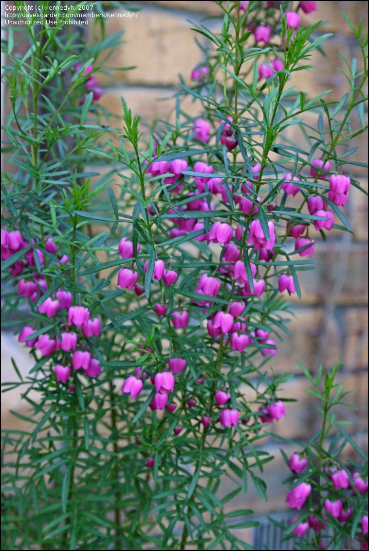 Plantfiles Pictures Red Boronia Boronia Heterophylla By Kennedyh Flowers Australia Australian Native Flowers Australian Native Plants