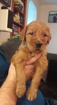 Litter Of 8 Goldendoodle Puppies For Sale In Akron Oh Adn 24185