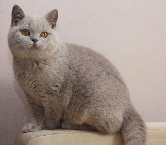 Golancat British Shorthair Cats British Shorthair Cats British Shorthair Pretty Cats