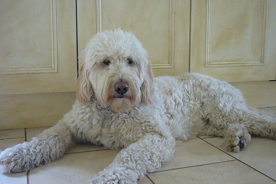 Beautiful Goldendoodle Cuddle Love Labradoodle Goldendoodle