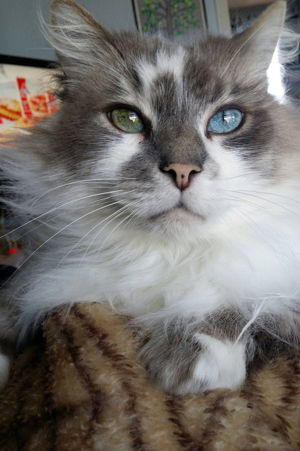 This Senior Cat Changes His Eye Color Over The Year Senior Cat Pictures Cats And Kittens Gorgeous Cats