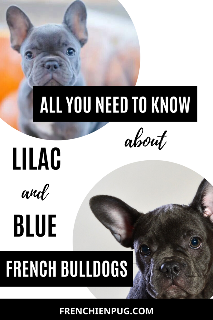 All You Need To Know About Lilac And Blue French Bulldogs Mini