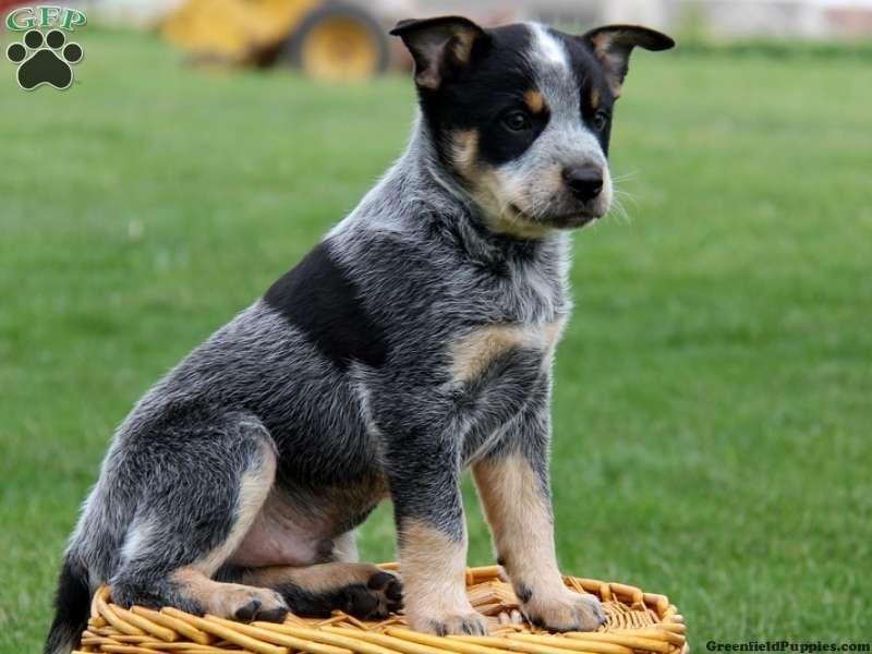 Blue Heeler Rottweiler Pitbull Mix Nxqrhxnb Jpg 800 600