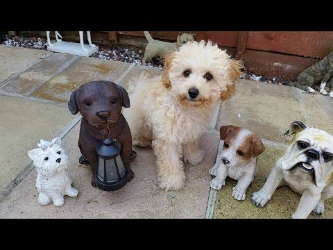 Beau Bichon X Poodle Puppy 2 Week Residential Dog Training 15 Best