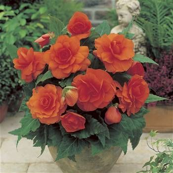 Begonia Grandiflora Orange 3 4 3 Tubers Bulb Flowers Plants Begonia