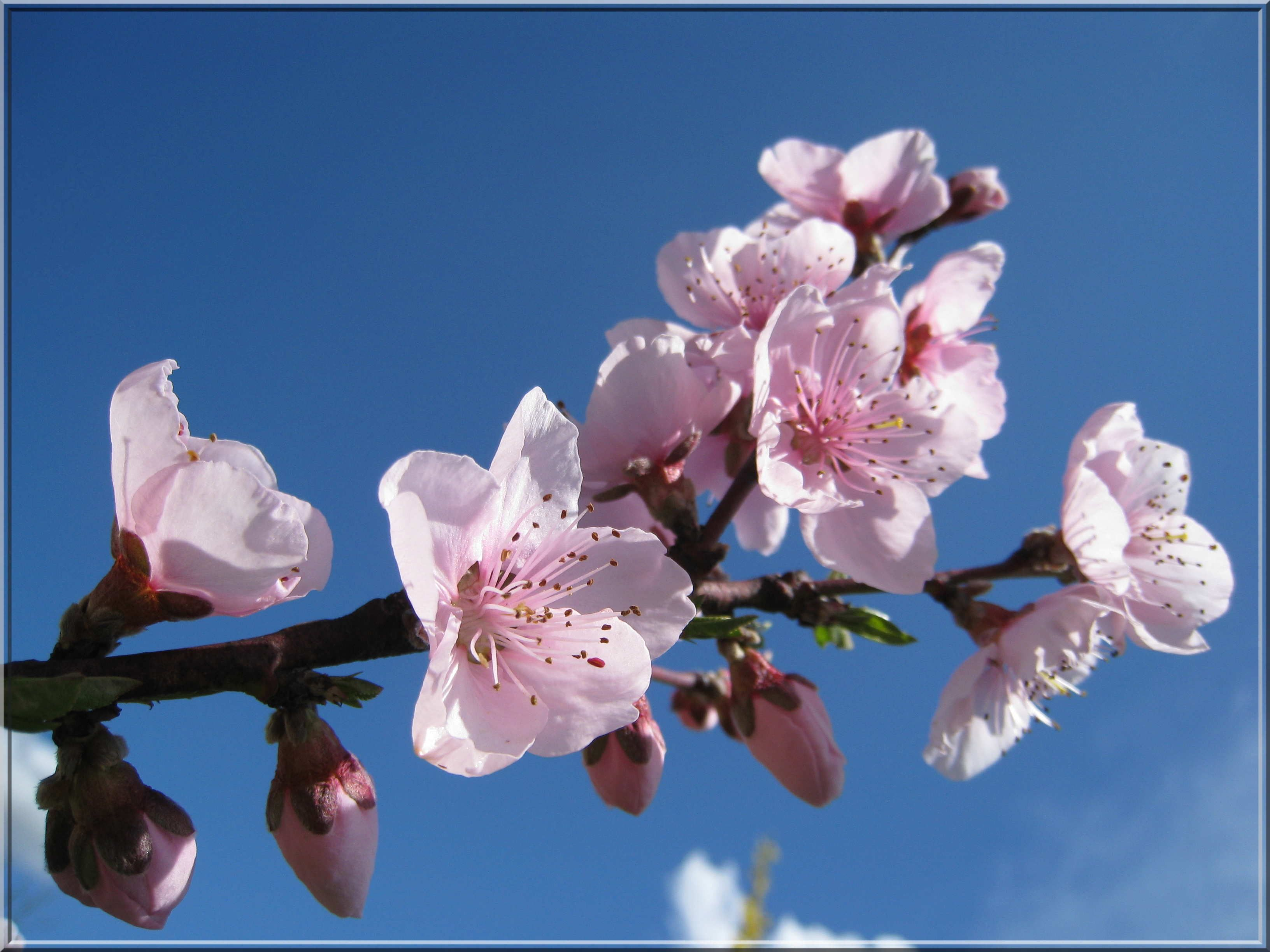 p chers en fleurs recherche google fleurs du printemps pinterest fleurs de p chers. Black Bedroom Furniture Sets. Home Design Ideas