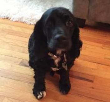 Cocker Spaniel dog for Adoption in Hanover, PA. ADN664340