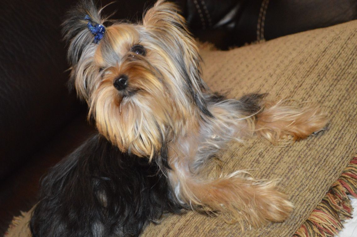 Yorkie puppies for sale in texas for cheap