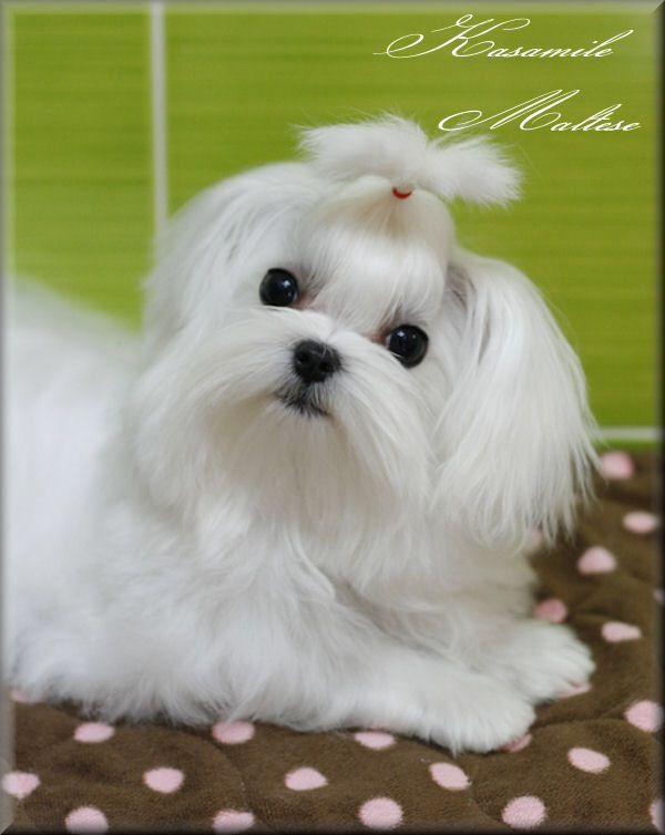 Perfect Little Maltese Niedliche Welpen Malteser Hund Malteser
