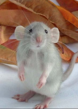 Such A Cute Little Face Dumbo Ratte Susseste Haustiere Und