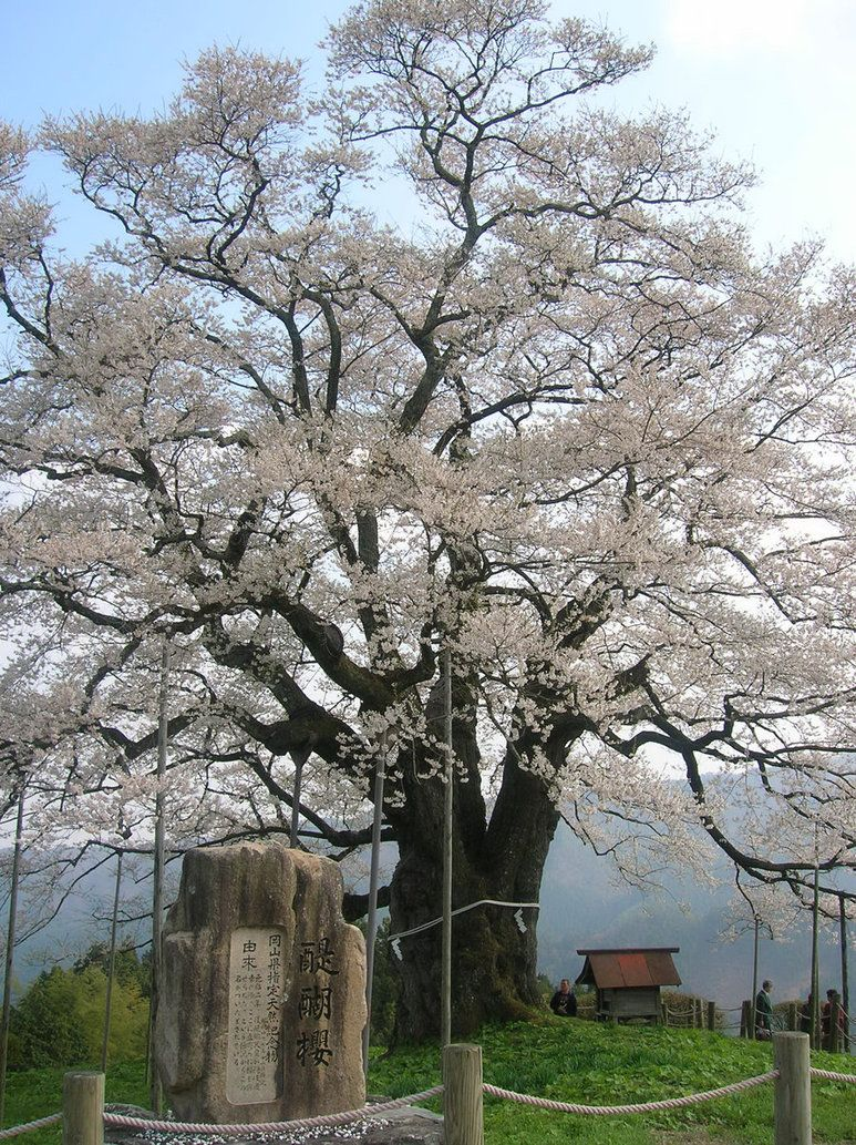1000 Year Cherry By Koala2all On Deviantart Nature Tree Old Trees Trees To Plant