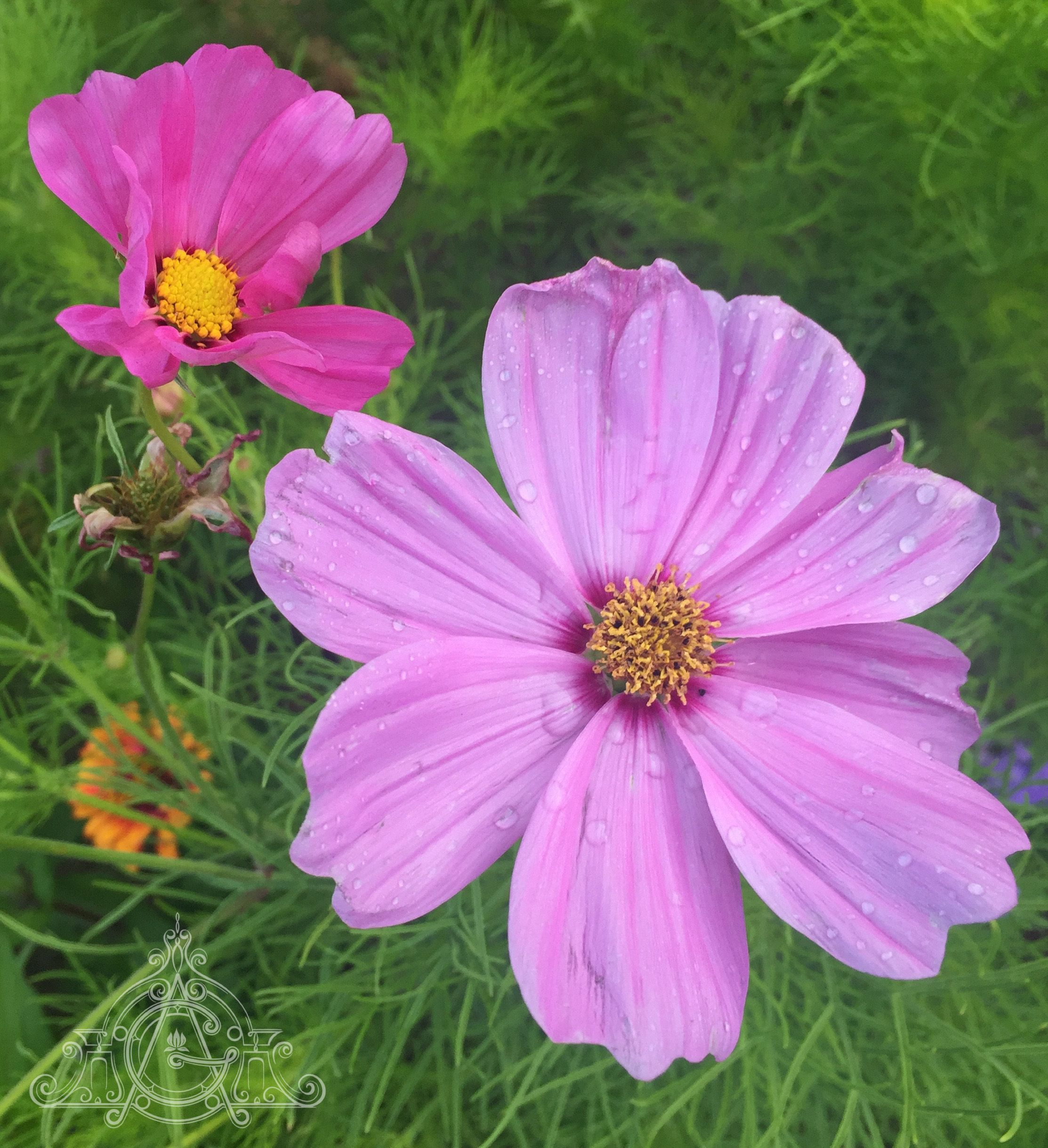 We Take This Simple Flower For Granted But It Is A Wonder Really Cosmos Will Grow With Just A Sprinkling Of Seeds And Seed Catalogs Organic Gardening Plants