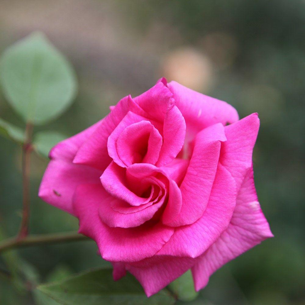 Zephirine Drouhin Climbing Rose rosa 'zéphirine drouhin' - rose zéphirine drouhin (climbing
