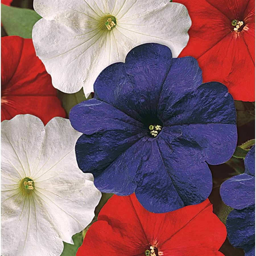 1 5 Gallon Multicolor Red White And Blue Petunia In Hanging