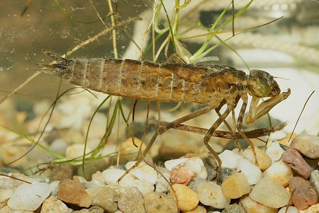 Larve De Libellule Insects Animals