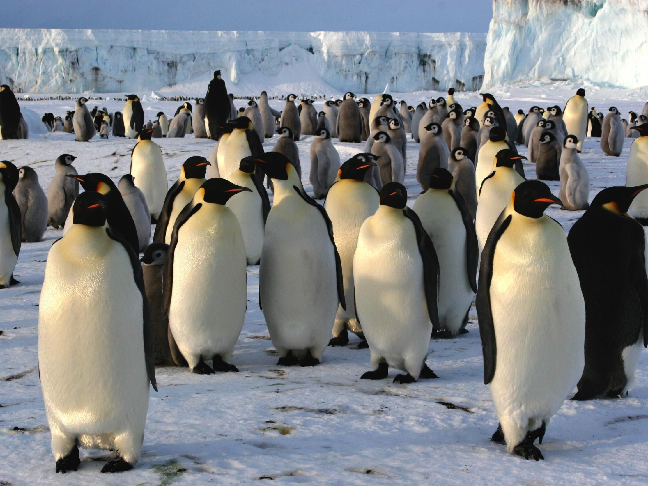 World S Second Largest Emperor Penguin Colony Disappears