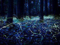 "North Carolina's ""Blue Ghost Fireflies"""