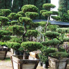 Arbres Nuage Japonais Bonsai Geant Arbre Beaux Jardins Accessoire Jardin
