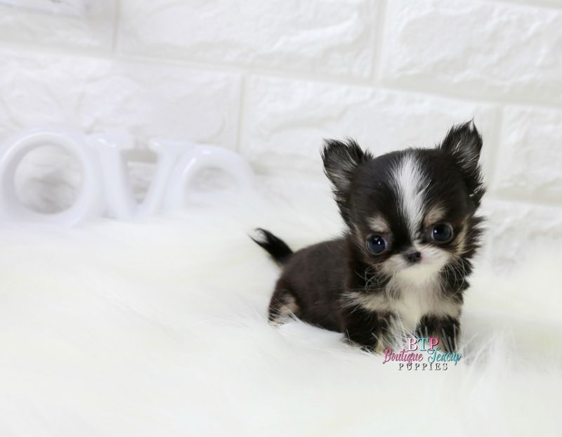 Chihuahua puppies for sale teacup chihuahua tiny for Tiny puppies that stay tiny for sale