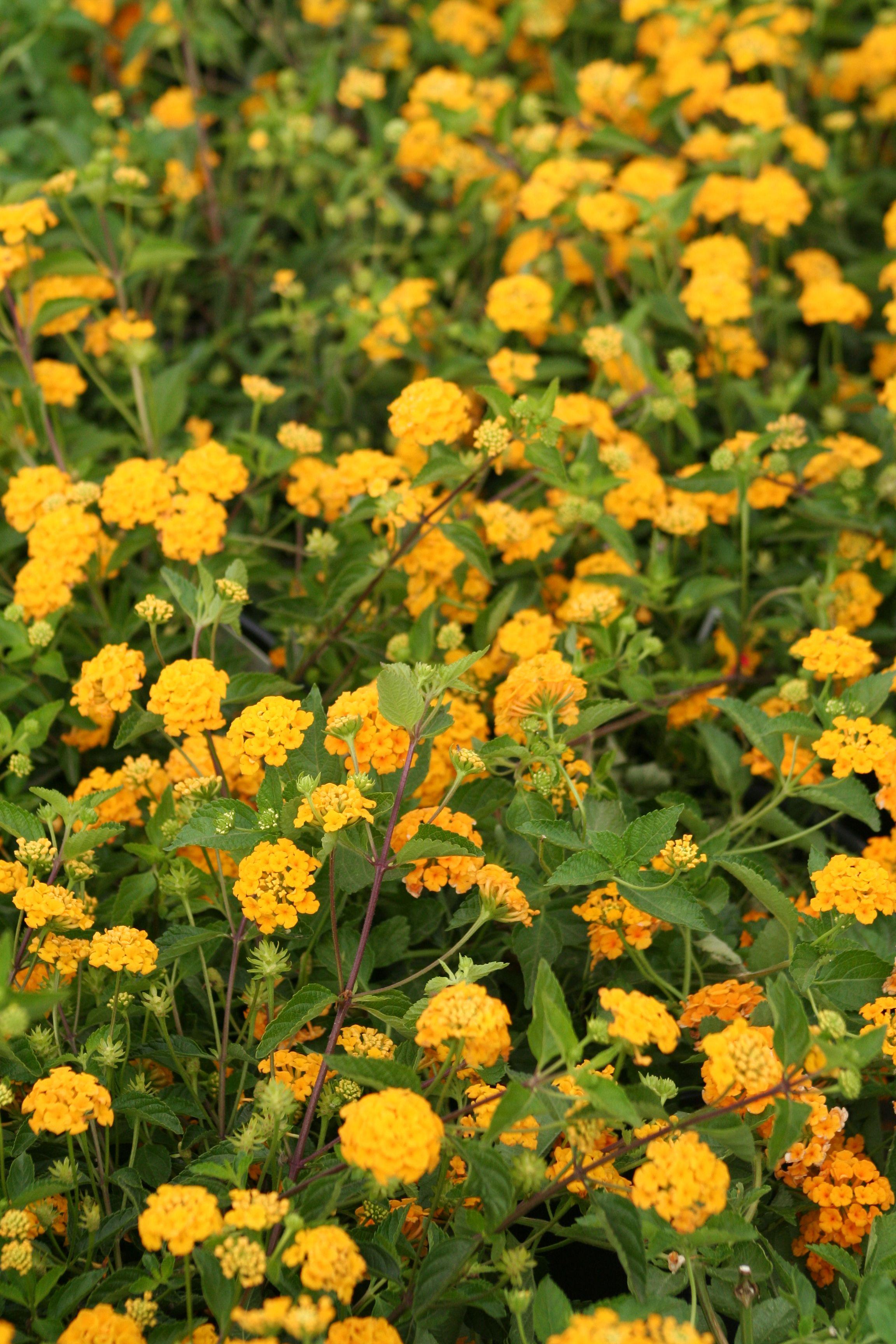 New Gold Lantana Drought Tolerant Garden Drought Resistant Plants Lantana