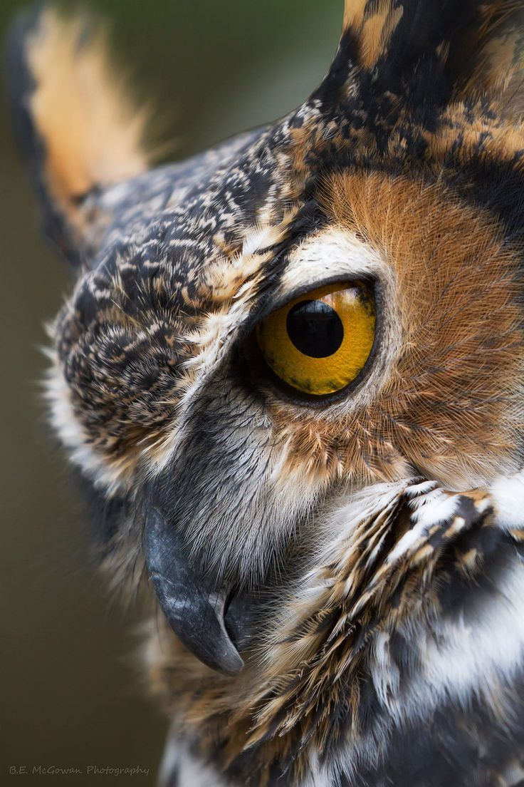 Wildlife Photography: Chomper is a great horned owl from Mountsberg. Always wanted a nice tight shot of him.