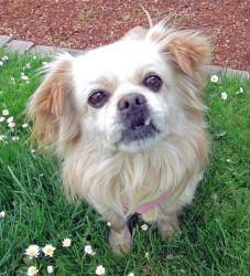 Lucky is an adoptable Pekingese Dog in Seattle, WA. Hello, Im a sweet little guy named Lucky. Ive lived all twelve years ofmy life with one family until now - same with my buddy Nikka, who came to...
