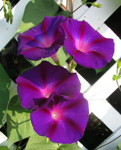 Morning Glory Growing On Fence Morning Glory Flowers Garden Vines Flower Show