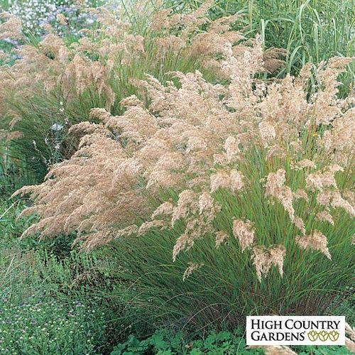 Silver Spike Grass Achnatherum Calamagrostis Low Water