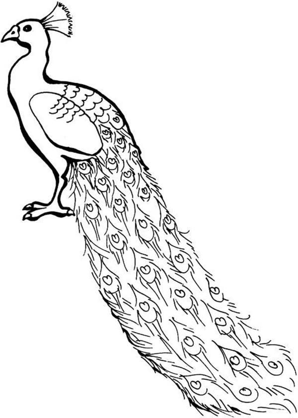 A lovely african congo peacock coloring page kids play color Clip