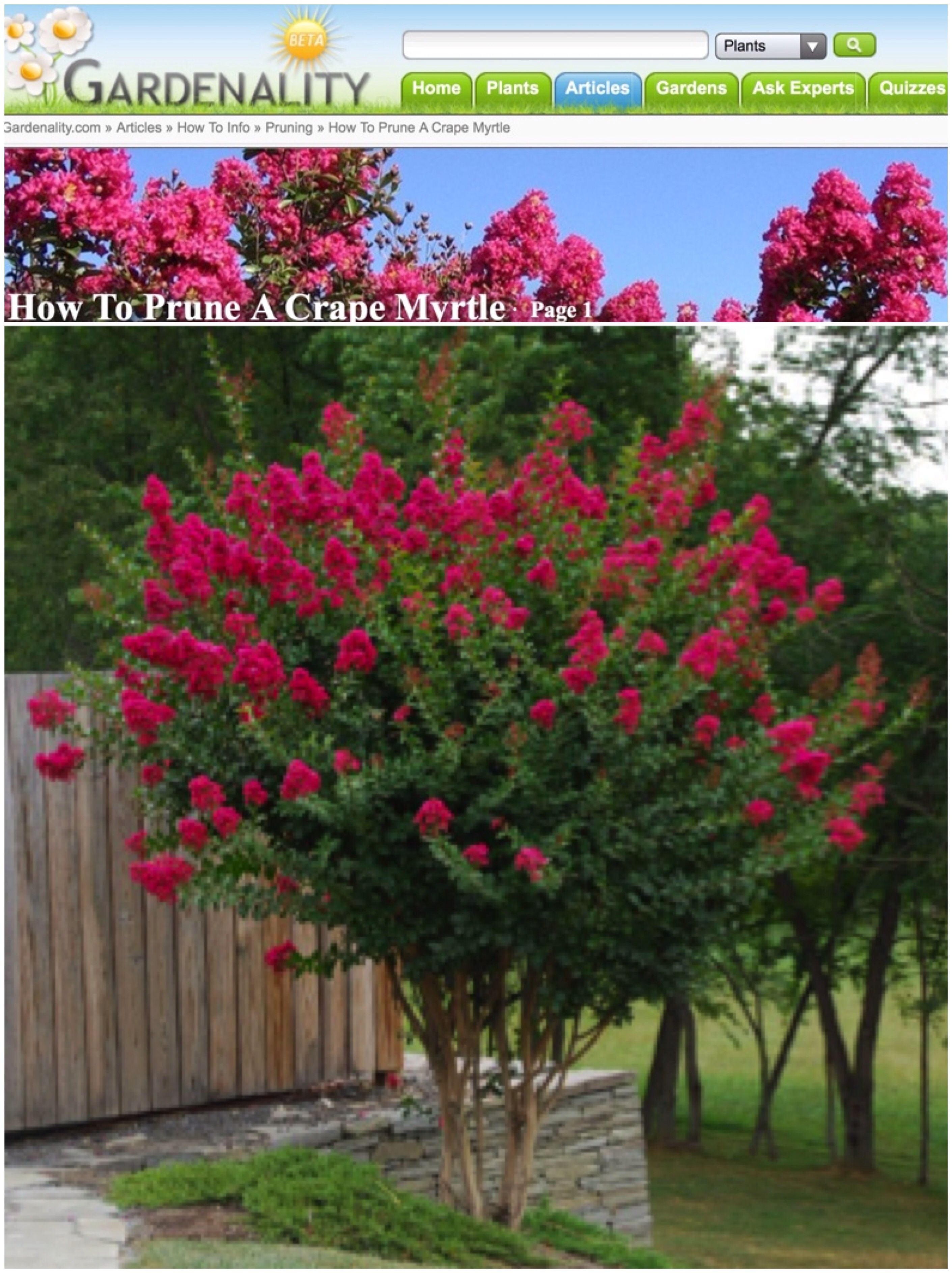 Crepe Myrtles Pruning In Late Winter Early Spring Myrtle Tree Plants Crepe Myrtle Trees